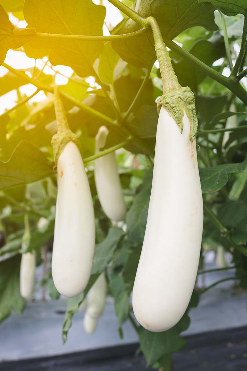 A vertical picture showing the elongated white fruits of the white aubergine in light sunshine surrounded by green foliage, fading to soft focus in the background.