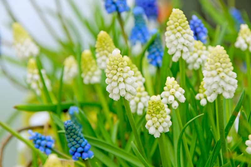 A close up of white and blue grape hyacinths growing in the garden surrounded by green foliage fading to soft focus in the background.