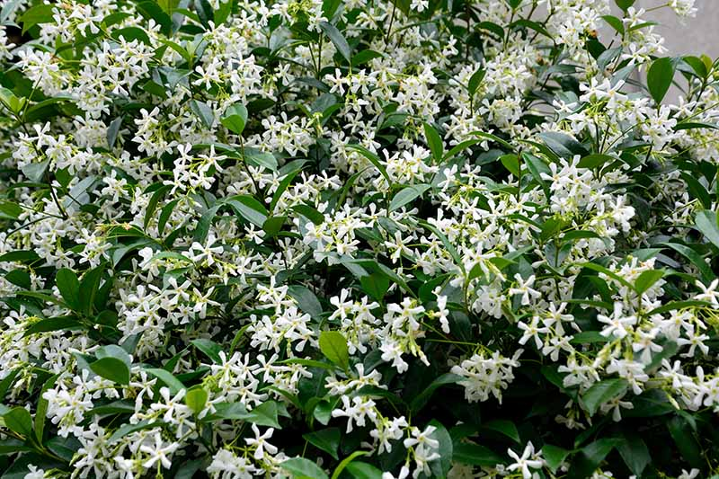 A close up of a Trachelospermum asiaticum in full bloom with delicate white flowers contrasting with dark green foliage.