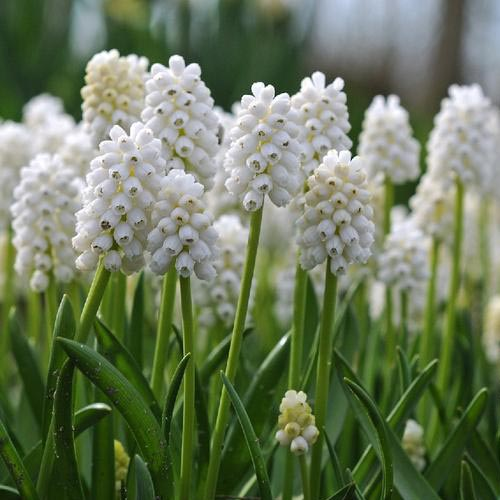 A close up of the 'White Magic' variety of grape hyacinth growing in the garden with bright white flowers and green upright foliage.