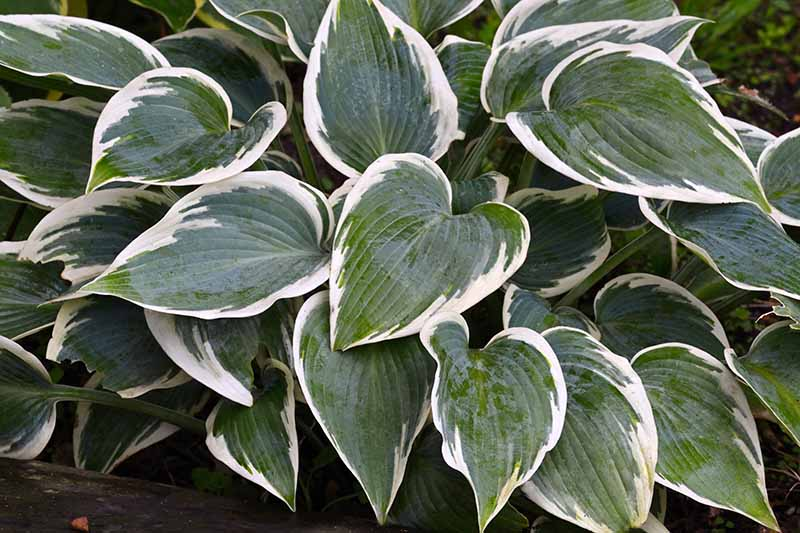 A close up of the 'First Frost' hosta cultivar with dark green heart shaped leaves with contrasting white edging, growing in the garden fading to soft focus in the background.