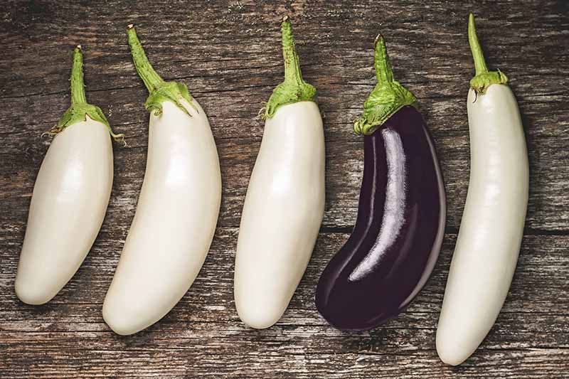 A close up of five harvested aubergines, four white ones of various shapes and one purple one set on a rustic wooden background.