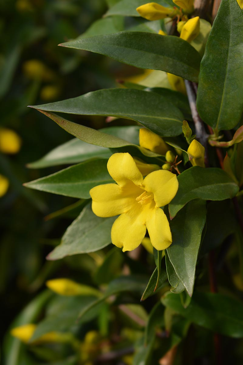 A vertical close up picture of the trumpet shaped bright yellow flower of the Carolina jessamine vine, surrounded by dark green foliage on a soft focus green background.