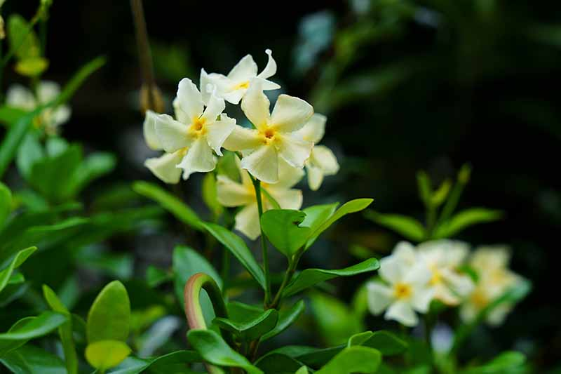 A close up of the pale yellow blooms of the Trachelospermum asiaticum vine, with green foliage surrounding them on a dark soft focus background.