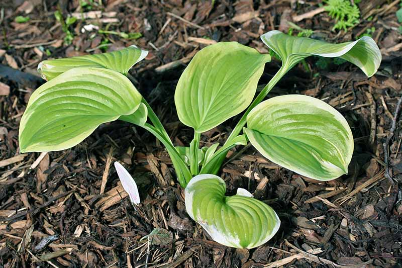 A close up of a young hosta plant of the 'Fragrant Bouquet' variety planted in the garden in light sunshine, surrounded by mulch.