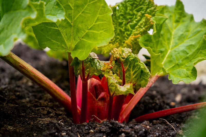 A close up of a young rhubarb plant with bright green leaf tops and dark reddish pink stems, surrounded by dark, rich, moist soil fading to soft focus in the background.