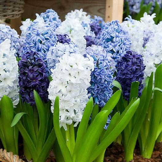 Various shades of blue and white hyacinths in bloom. Close up view.