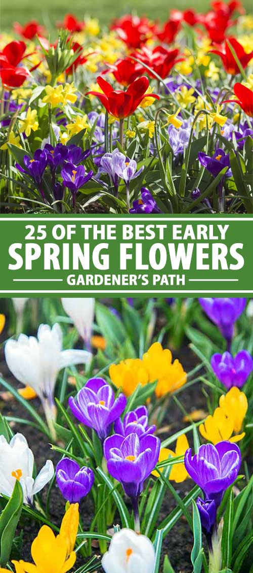 25 Of The Best Early Spring Blooming Flowers Gardener S Path