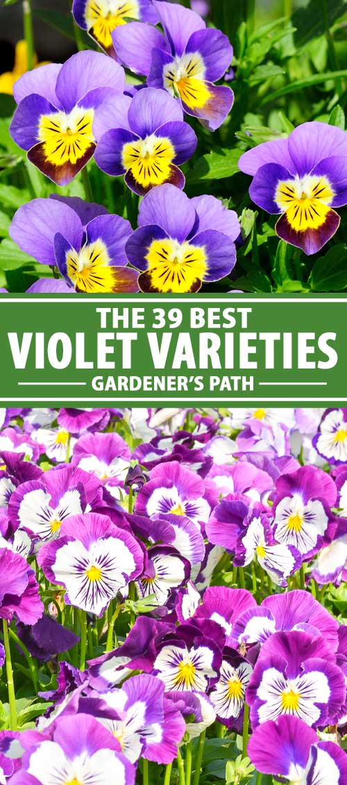 A collage of photos showing different types and color combinations of violet flowers.