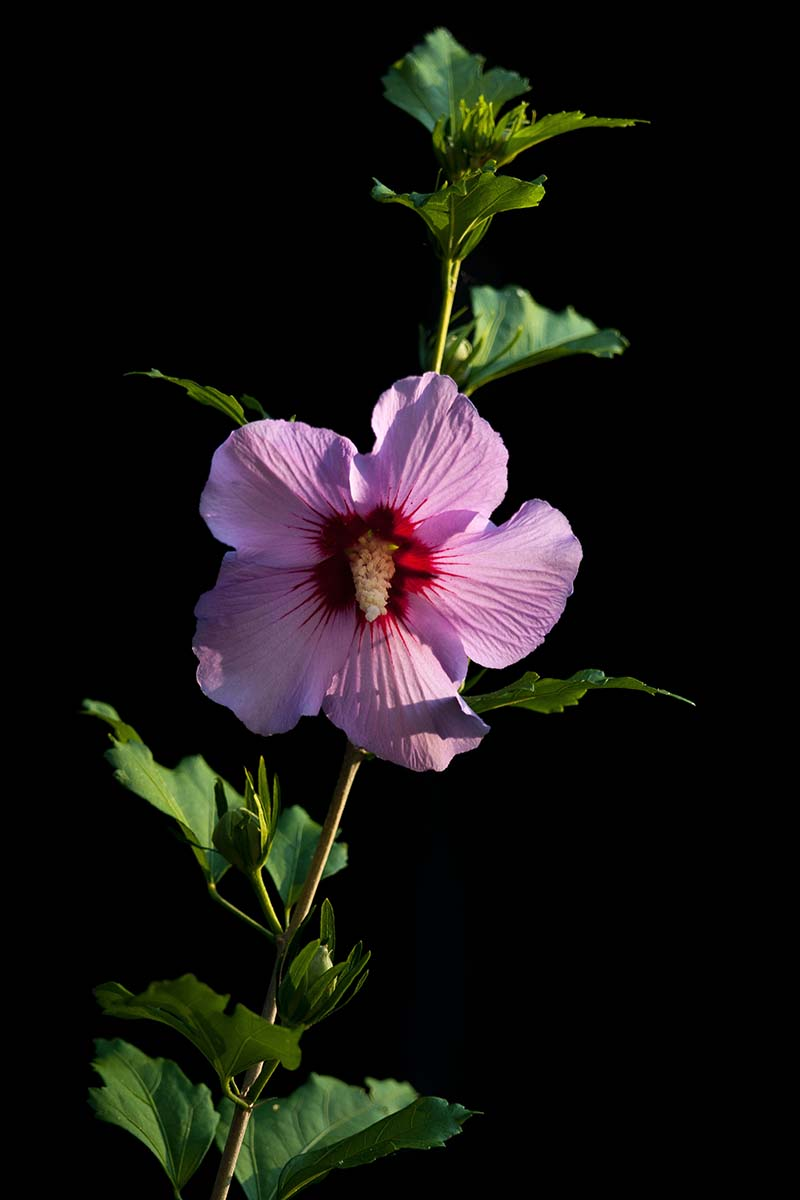 A close up vertical image of a pink 'Aphrodite' hibiscus flower on a single stem, on a dark black background.