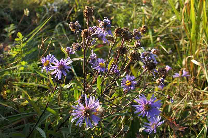 A close up of a purple aster plant going to seed in the garden, pictured in bright sunshine on a soft focus background.