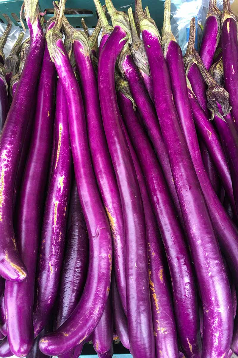 A vertical close up picture of long light purple eggplant fruits at a market.