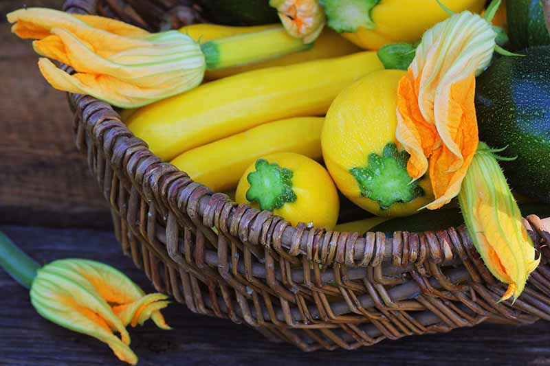 A brown wicker basket containing a fresh harvest of yellow zucchini set on a wooden surface.