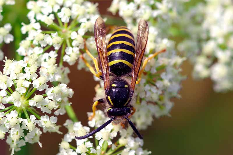 A close up of a predatory wasp feeding from the white flowers of the common yarrow plant.