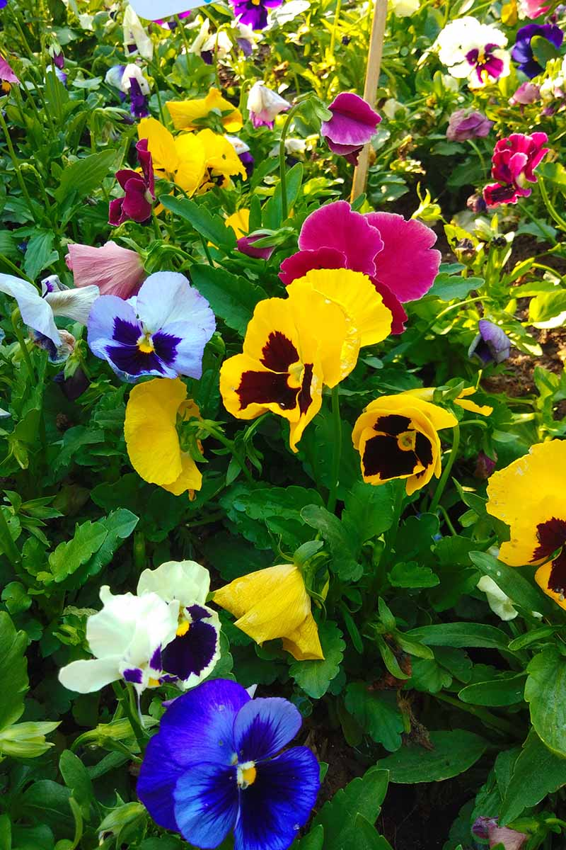 A vertical picture of a variety of different colored pansies growing in the garden pictured in bright sunshine.