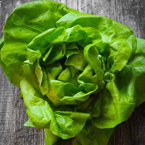 A close up of a green 'Bibb' lettuce with light green smooth leaves, set on a wooden surface.