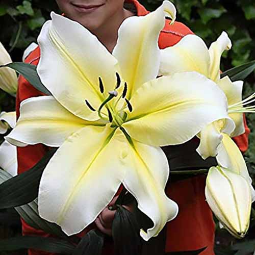 A close up of a person holding a huge 'Big Brother' flower, with large white and yellow petals, fading to soft focus in the background.