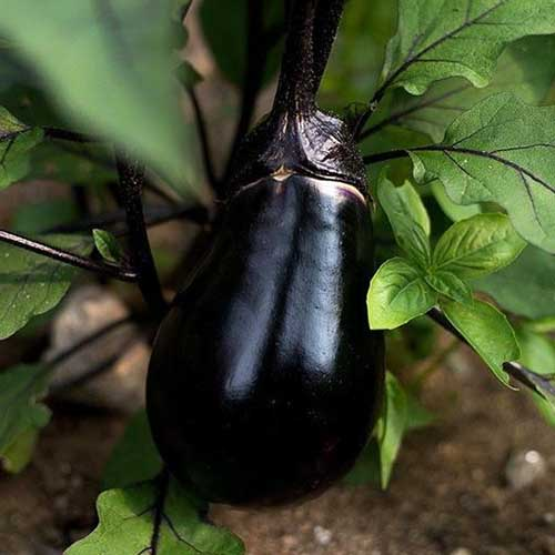 A close up of a 'Black Egg' variety of eggplant growing on the plant with the characteristic black calyx, surrounded by green foliage on a soft focus background.