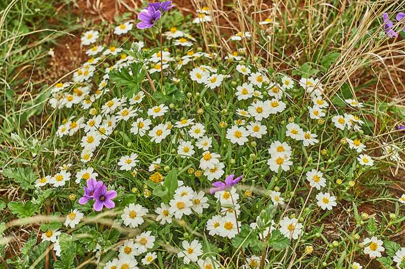 A close up of a clump of blackfoot daisy flowers growing in a wildflower meadow.