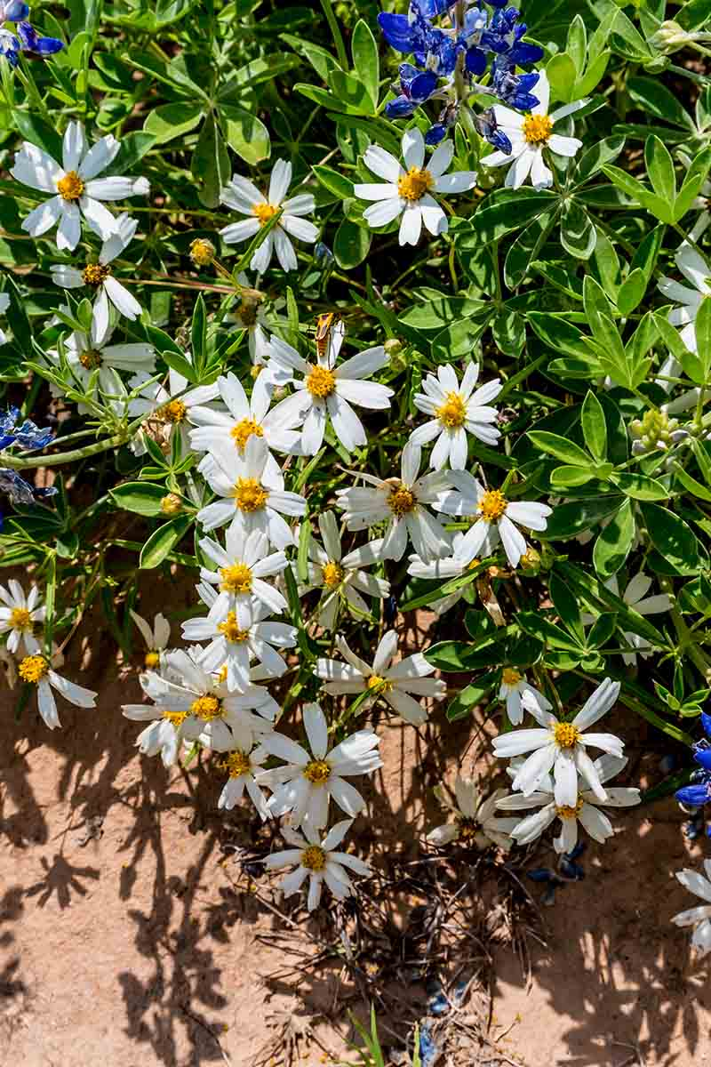 A vertical close up picture of a blackfoot daisy growing in the garden amongst some blue flowers in bright sunshine.