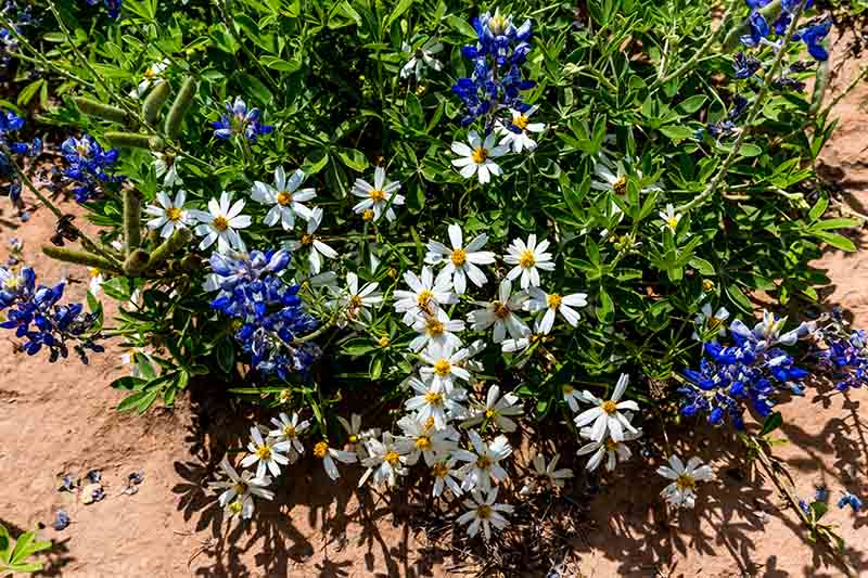 A close up top down picture of blackfoot daisy growing in poor soil in the garden, with blue flowers, pictured in bright sunshine.