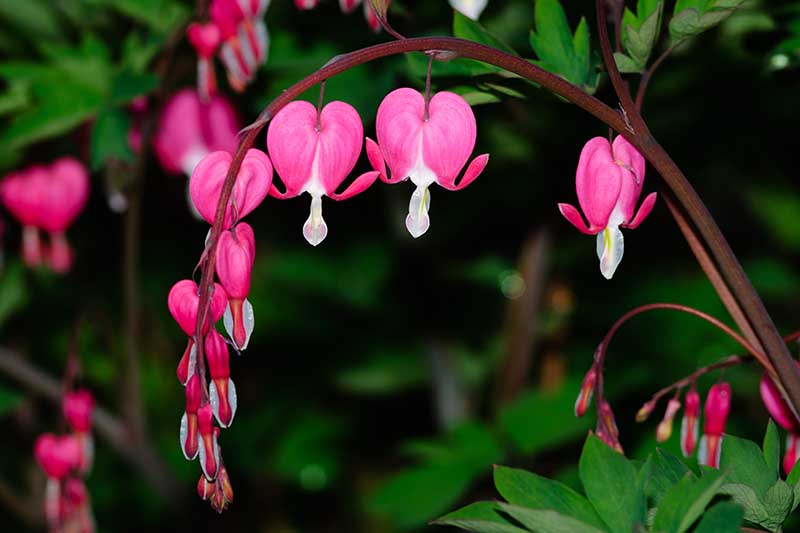 A close up of pink bleeding heart flowers hanging from the branch on a soft focus background.