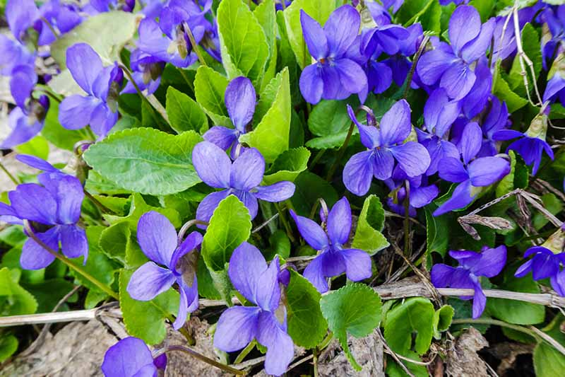 A close up of small blue native violets growing in the garden with light green foliage fading to soft focus in the background.