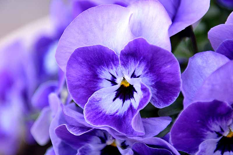 A close up of a light and dark blue pansy pictured on a soft focus background.