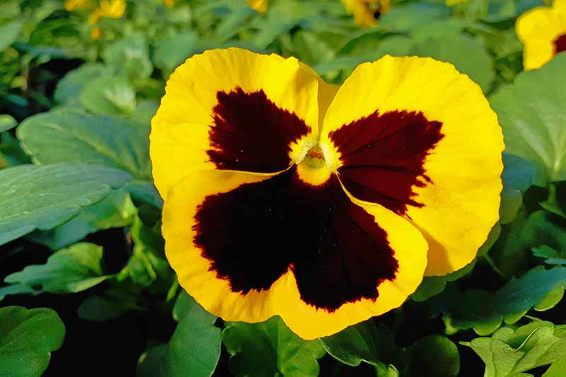 A close up of a yellow pansy with a dark purple center growing in the garden in bright sunshine with green foliage in the background in soft focus.