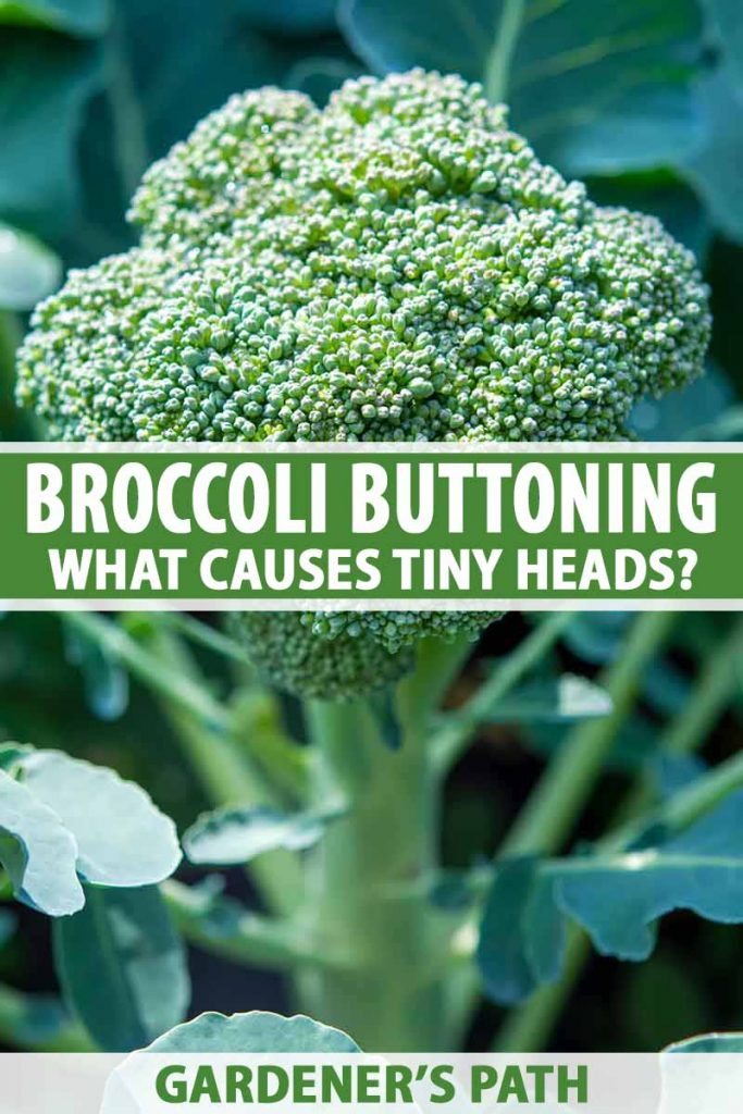 A close up vertical picture of a head of broccoli surrounded by small green leaves, with the stem and background in soft focus. To the center and bottom of the frame is green and white text.