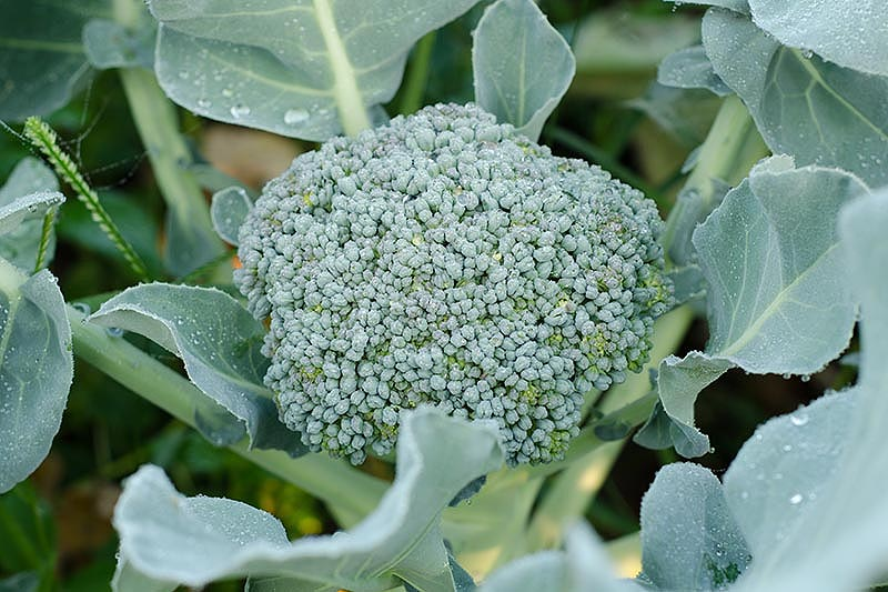 A close up of a broccoli head almost ready to harvest, amongst green foliage fading to soft focus in the background.
