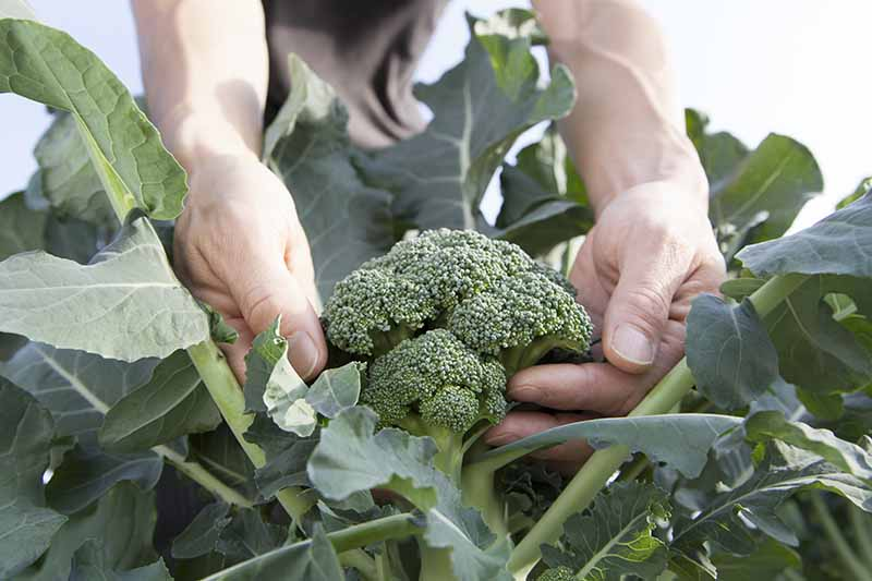 A close up of two hands cupping a mature broccoli head, in between large, leafy green foliage on a white background.