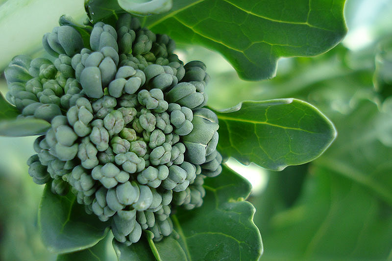 A close up of the detail of a broccoli head, showing the small inflorescence, surrounded by green foliage on a soft focus background.