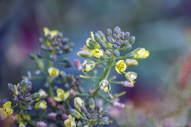 A close up of a broccoli plant that has bolted and started flowering, with tiny white blooms and several buds, pictured on a green soft focus background.