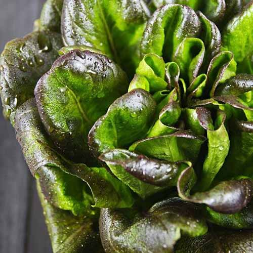 A close up of the light green and burgundy leaves of the 'Bronze Mignonette' variety of lettuce with small droplets of water covering it, set on a wooden surface.