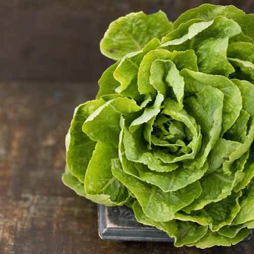 A close up of a 'Buttercrunch' lettuce with light green tightly packed leaves set on a wooden surface on a soft focus background.