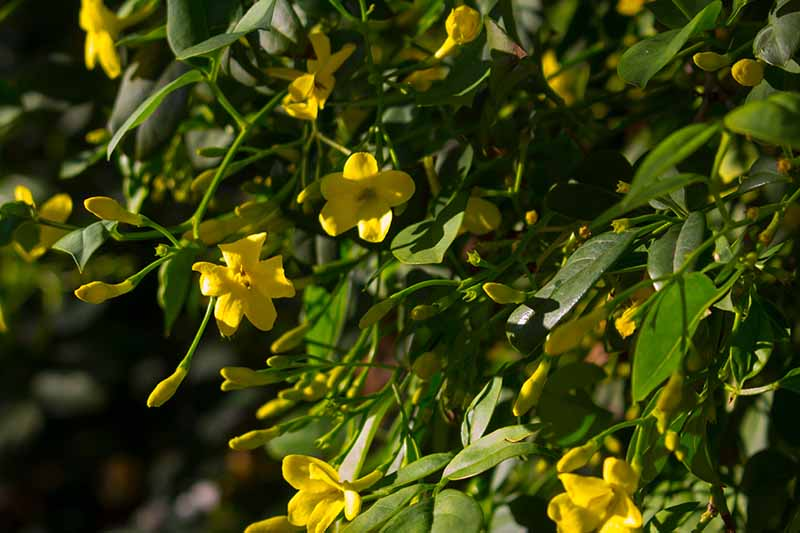 A close up of the yellow flowers of the Carolina jessamine vine growing in the garden pictured in light sunshine on a soft focus background.