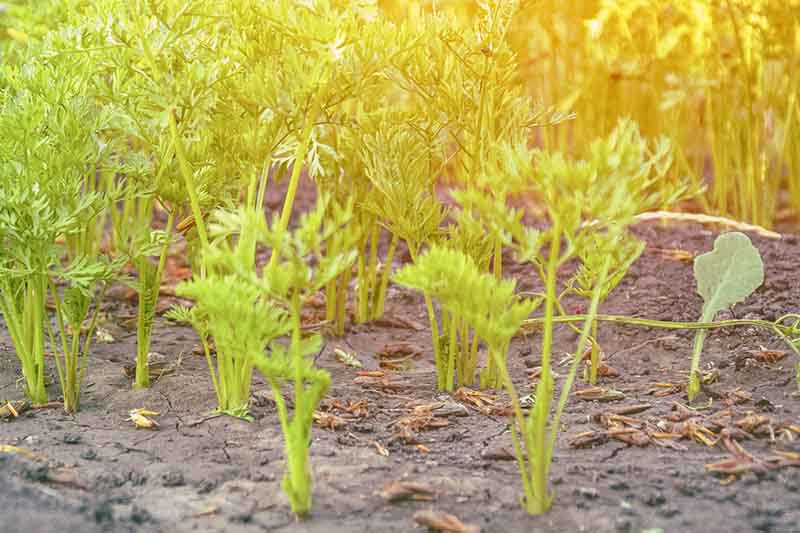 A close up of the green foliage of young carrot seedlings growing in the garden in bright sunshine, fading to soft focus in the background.