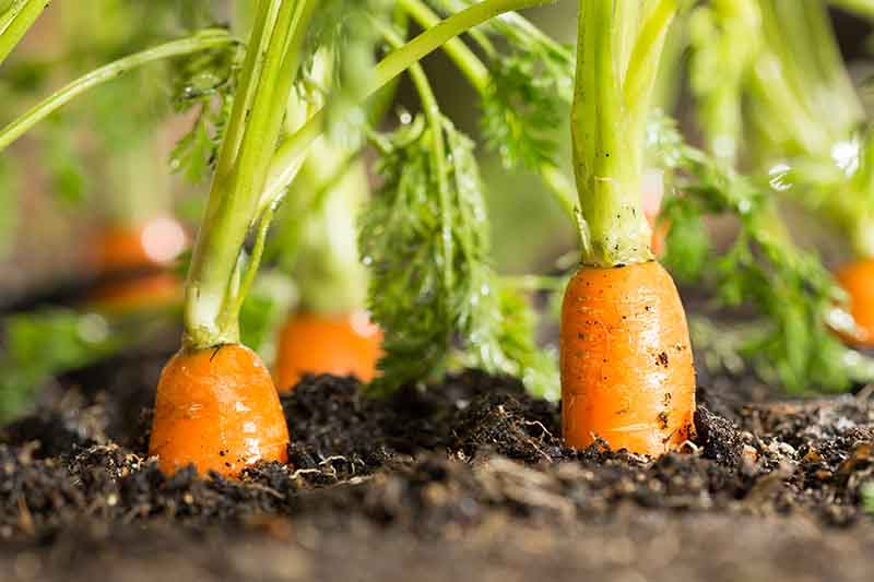 A close up of carrots growing in rich soil, with the tops of the orange roots visible above the soil and the green foliage in soft focus.