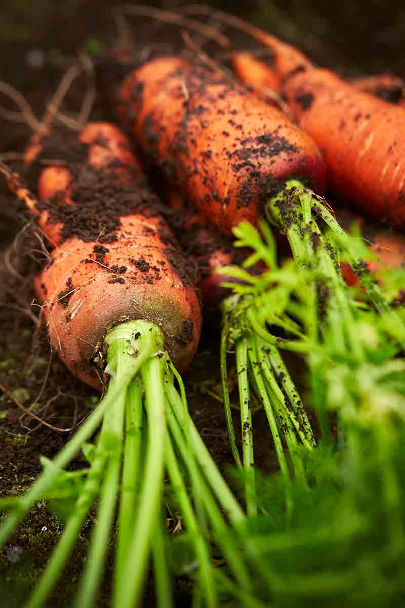 A close up vertical picture of freshly picked carrots lying on the garden soil with the tops still attached and soil still on the roots.
