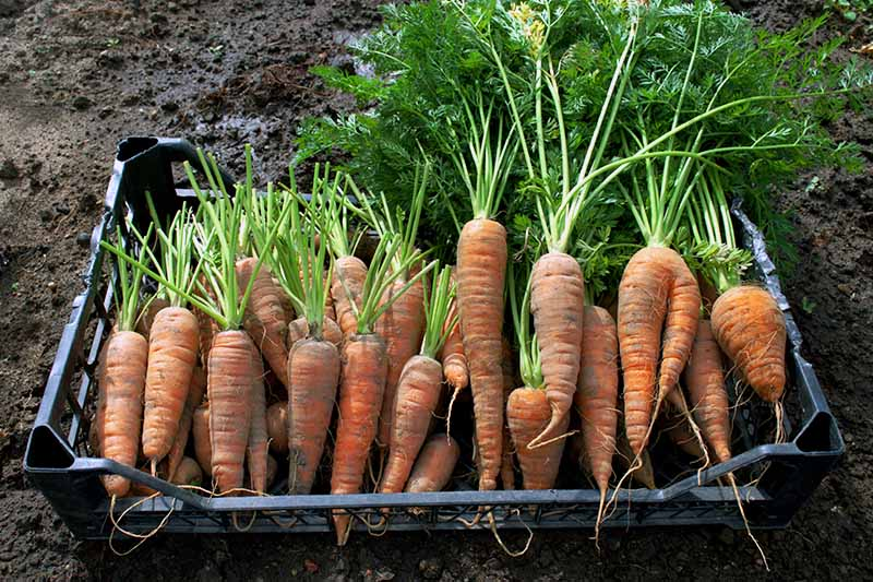 A close up of freshly harvested carrots set in a black plastic container, half of them have had the foliage removed. The background is rich dark garden soil.