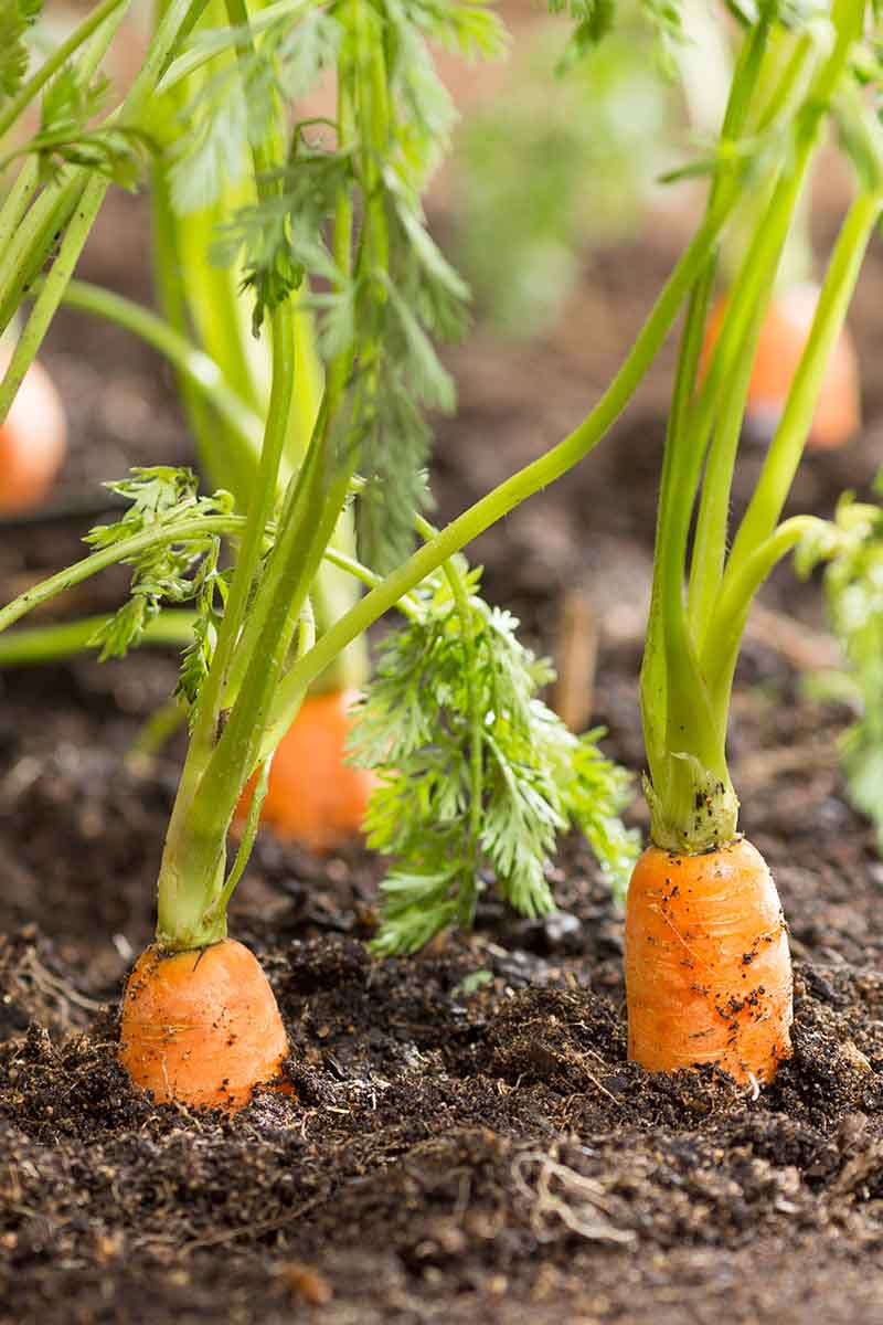 A vertical close up picture of carrots ready to harvest. The orange roots are pushing up through the soil with green foliage in soft focus in the background.