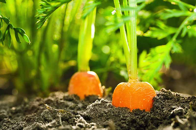 A close up of the top of the soil showing a row of carrots with the top of the roots pushing through and light sunshine filtering through the foliage.