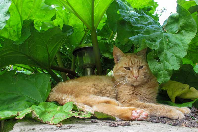 A close up of a ginger cat sleeping underneath a rhubarb plant growing in the garden with large green leaves and a solar light amongst the stalks.