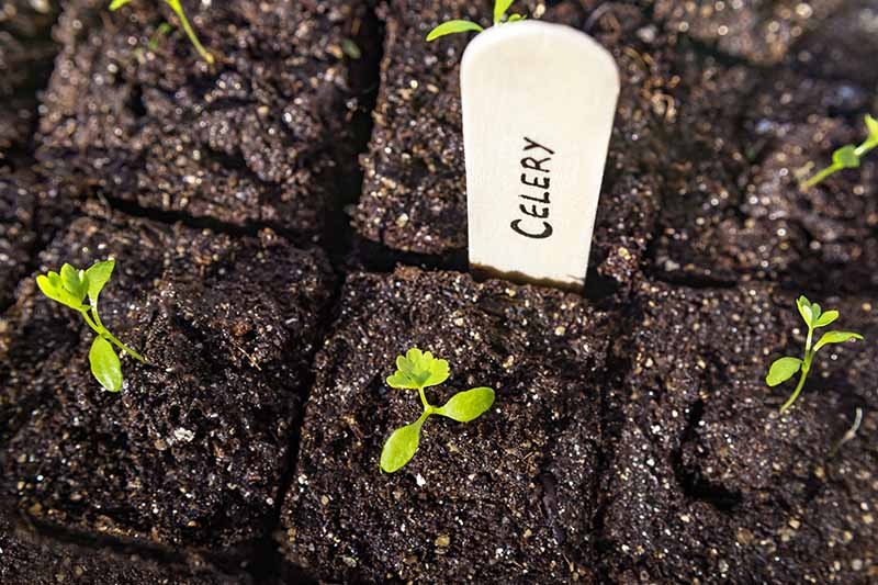 A close up top down picture of celery seedlings growing in compressed earth with a white plant marker.
