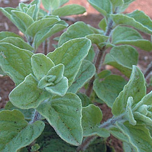 A close up of the leaves of the 'Cleopatra' variety of Origanum vulgare on a soft focus background.
