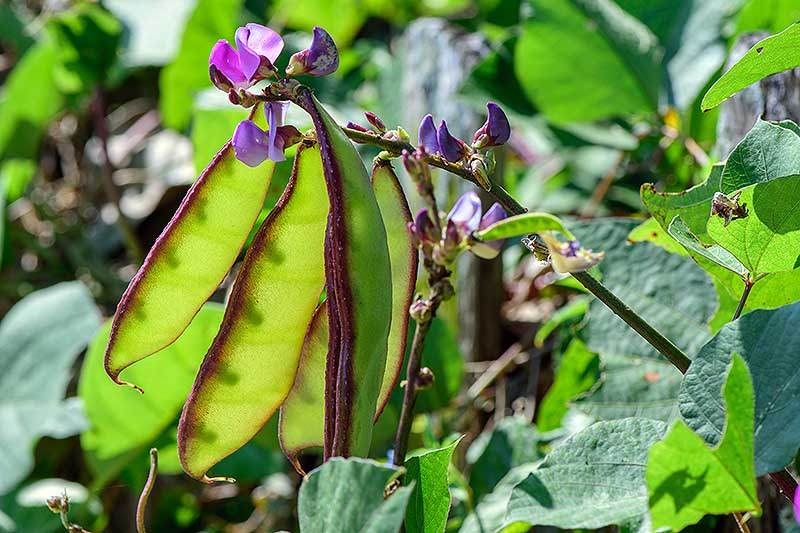 A close up of the seed pods and purple flowers of the Lablab purpureus vine growing in the garden in bright sunshine, fading to soft focus in the background.