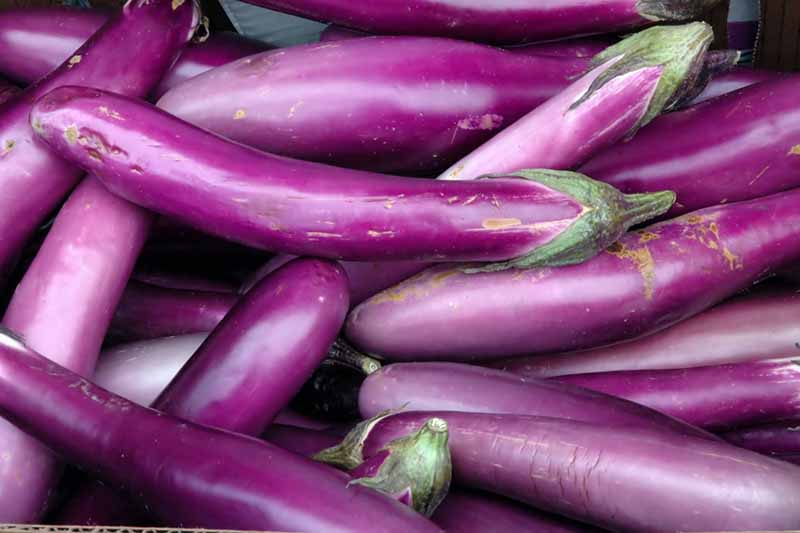 A close up of a collection of small, light-purple colored Japanese eggplants.