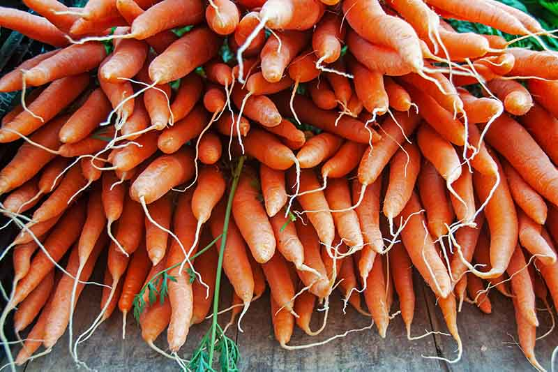 A close up of a bunch of carrots harvested and cleaned, set on a wooden surface with the green foliage still attached.