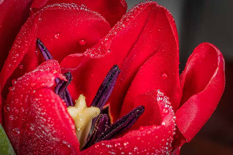 A close up of a bright red tulip flower showing the inside purple stamen, the petals are covered in light droplets of water, on a dark background.